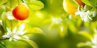 Reife Orangen oder Tangerinen, die an einem Baum hängen Stockfoto