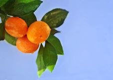 Reife Orangen oder Tangerinen, die an einem treе auf blauer Himmel backgrounde hängen Nahaufnahme Lizenzfreie Stockbilder