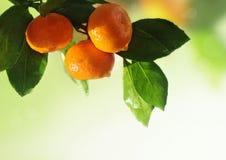 Reife Orangen oder Tangerinen, die an einem treе hängen Nahaufnahme Lizenzfreies Stockbild