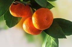 Reife Orangen oder Tangerinen, die an einem treе hängen Nahaufnahme Stockfotos