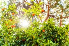 Reife Orangen trägt treen an am Sommertag mit Sonnenlicht Früchte Lizenzfreie Stockbilder