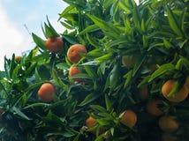 Reife Orangen und Spinnennetz Lizenzfreie Stockbilder