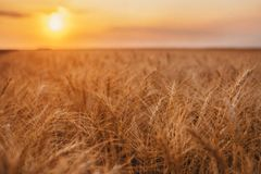 Reife organische gelbe Stiele des Weizens auf dem Gebiet in der Landschaft im Spätsommer stockbild