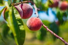 Reife Pfirsiche auf Baum Lizenzfreies Stockfoto