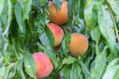 Reife Pfirsiche auf dem Baum Lizenzfreies Stockfoto