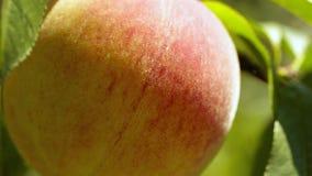 Reife Pfirsiche auf einer Niederlassungsnahaufnahme stock video