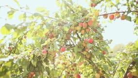 Reife Pflaumen auf einem Baum in der Sonne strahlt stock footage