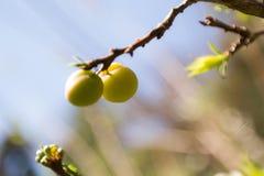 Reife Pflaumen, die von einem Baum in einem Obstgarten hängen Stockfoto
