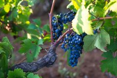 Reife purpurrote Trauben auf Rebe im Garten stockfoto