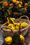 Reife Quittenfrucht Stockfotografie