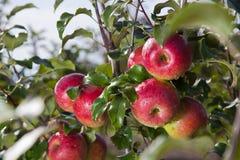 Reife rote Äpfel auf Baum Stockbild
