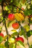 Reife rote Äpfel auf Niederlassung lizenzfreies stockbild