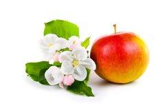 Reife rote Apfel- und Apfelbaumblüten Lizenzfreies Stockfoto