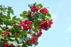 Reife rote Bündel von Viburnum stockfotografie