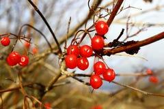 Reife rote Beeren von Viburnum auf einer Niederlassung Lizenzfreie Stockbilder