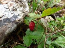 Reife rote Erdbeere in den Bergen von Montenegro Stockbild