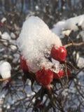 Reife rote Hagebuttenbeeren unter Schnee an einem hellen Tag stockfotos