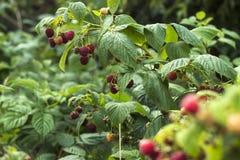 Reife rote Himbeere wächst im Garten, nützliche Frucht, Beere Bush, Hintergrund stockfotos