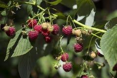 Reife rote Himbeere wächst im Garten, nützliche Frucht, Beere Bush, Hintergrund lizenzfreie stockbilder