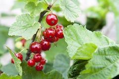 Reife rote Johannisbeeren auf den Büschen im Garten Stockfoto