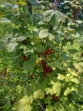 Reife rote Johannisbeeren, die vom Busch bereit hängen stockfoto