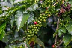 Reife, rote Kaffeebohne - bereiten Sie für die Ernte vor - unter Grün eine lizenzfreies stockfoto