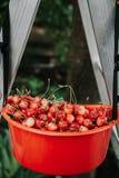 Reife rote Kirsche im Plastikbehälter Stockfotos