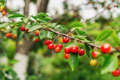 Reife rote Kirschen auf einem Baumast Stockbild