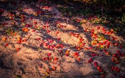 Reife rote Pflaumen auf dem sandigen Strand Lizenzfreie Stockfotos