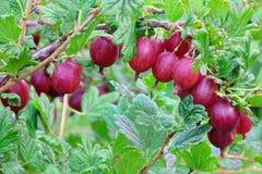 Reife rote Stachelbeerfrüchte auf Strauch-Zweig im Handelsgarten Stockfotografie