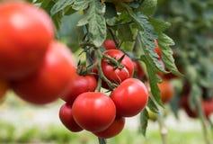 Reife rote Tomate im Gewächshausgarten lizenzfreie stockfotos
