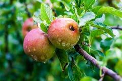 Reife rote wilde Äpfel auf einer Niederlassung Stockfotografie