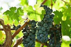 Reife Rotweintrauben berichtigen vor Ernte lizenzfreie stockfotos