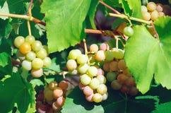 Reife süße Weintrauben lizenzfreie stockbilder