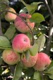 Reife, saftige Äpfel auf einem Zweig. Stockfotos