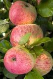 Reife, saftige Äpfel auf einem Zweig. Lizenzfreies Stockfoto