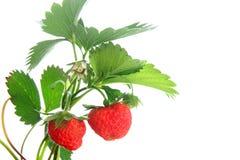 Reife, saftige Erdbeeren mit grünen Blättern und Beeren Stockfotos