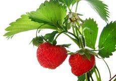 Reife, saftige Erdbeeren mit grünen Blättern und Beeren Lizenzfreies Stockfoto