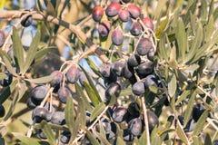 Reife schwarze Oliven auf Olivenbaum zur Erntezeit Lizenzfreie Stockfotos