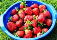 Reife, selbst gemachte Erdbeere vom Garten Lizenzfreies Stockfoto
