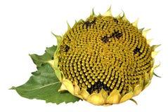 Reife Sonnenblume Lizenzfreies Stockfoto