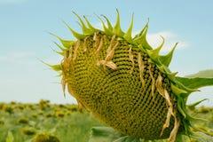 Reife Sonnenblume Stockbild