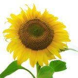 Reife Sonnenblume getrennt auf Weiß Lizenzfreies Stockbild