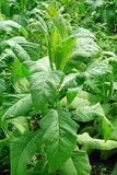 Reife Tabakanlage mit großen grünen Blättern Stockbilder