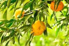 Reife Tangerinefrüchte auf dem Baum Stockfotografie