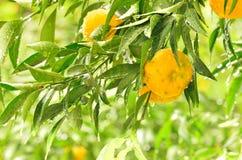 Reife Tangerinefrüchte auf dem Baum Stockfotos
