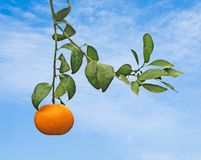 Reife Tangerinen auf Baum Stockfotos