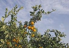 Reife Tangerinen auf Baum lizenzfreie stockfotografie
