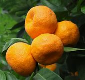 Reife Tangerinen auf einem Baum Lizenzfreies Stockfoto
