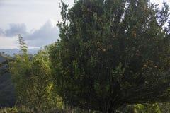 Reife Tangerinen, die vom Baum hängen lizenzfreie stockfotos